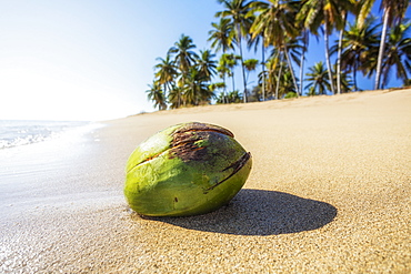Coconut washes ashore on a beach with palm trees, Lanai, Hawaii, United States of America