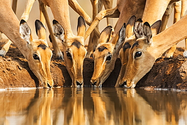 Group of Impalas (Aepyceros melampus) at waterhole, Mashatu Game Reserve, Botswana