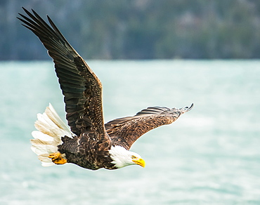 Bald eagle (Haliaeetus leucocephalus) in flight with wings spread over water, Homer, Alaska, United States of America