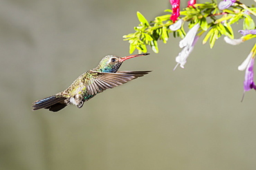 Broad-billed hummingbird (Cynanthus latirostris) approaching a blossoming plant with flowers, taken with a flash, Madera Canyon, Arizona, United States of America