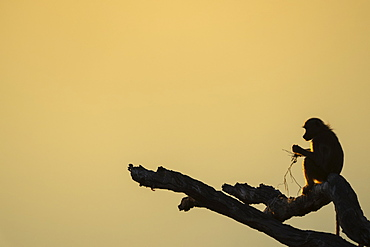 Baboon sitting on a tree branch at sunset, Botswana