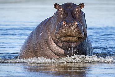 Hippopotamus (Hippopotamus amphibius) coming up out of the water, Botswana