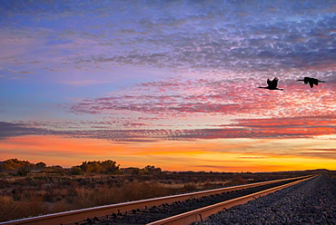 Sandhill cranes (Antigone canadensis) in flight over railroad tracks at sunset, Bosque del Apache National Wildlife Refuge, New Mexico, United States of America