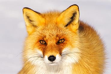 Close-up of a fox, Nemuro Peninsula, Japan