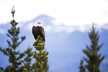 Bald eagle (Haliaeetus leucocephalus) sitting on a tree top, Haines Junction, Yukon, Canada