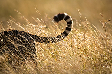 Close-up of tail of cheetah (Acinonyx jubatus) in grass, Maasai Mara National Reserve, Kenya