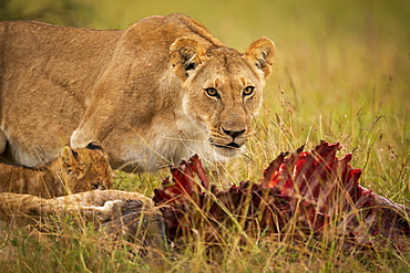 Close-up of lioness (Panthera leo) and cub with kill, Maasai Mara National Reserve, Kenya