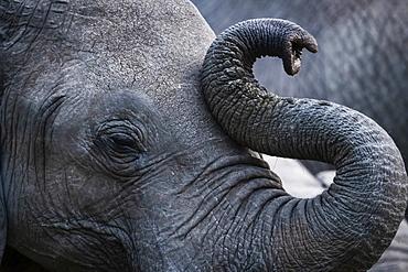 Close-up of African bush elephant (Loxodonta africana) curling up trunk, Maasai Mara National Reserve, Kenya