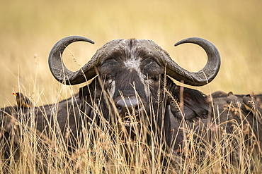 Close-up of African buffalo (Syncerus caffer)head through grass, Maasai Mara National Reserve, Kenya