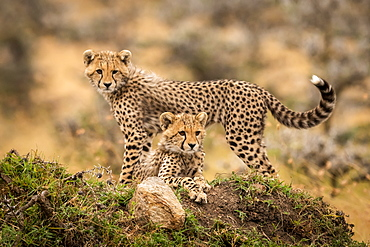 Two cheetah cubs (Acinonyx jubatus) lying and standing on grassy mound, Maasai Mara National Reserve, Kenya