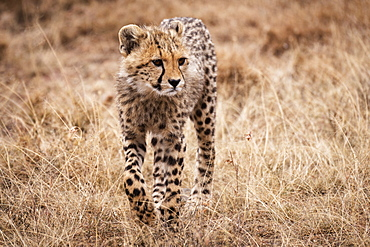 Cheetah (Acinonyx jubatus) cub walks towards camera in grass, Maasai Mara National Reserve, Kenya