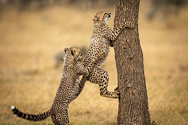 Cheetah cub (Acinonyx jubatus) pulls back another climbing tree, Maasai Mara National Reserve, Kenya