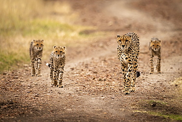 Cheetah (Acinonyx jubatus) and three cubs walk down road, Maasai Mara National Reserve, Kenya