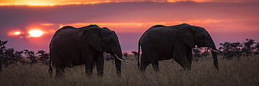 Two African elephants (Loxodonta africana) in grass at sunset, Maasai Mara National Reserve, Kenya