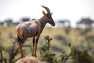 Topi (Damaliscus lunatus jimela) stands on rocky mound eyeing camera, Maasai Mara National Reserve, Kenya
