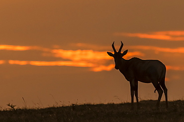 Topi (Damaliscus lunatus jimela) in silhouette on horizon at sunset, Maasai Mara National Reserve, Kenya