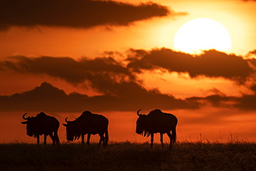 Three blue wildebeest (Connochaetes taurinus) silhouetted against setting sun, Maasai Mara National Reserve, Kenya