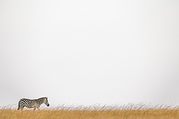 Plains zebra (Equus quagga burchellii) walking on horizon in grass, Maasai Mara National Reserve, Kenya