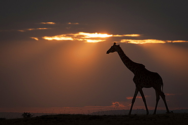 Masai giraffe (Giraffa camelopardalis tippelskirchii) walks along horizon at sundown, Maasai Mara National Reserve, Kenya