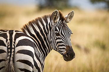 Close-up of plains zebra (Equus quagga) turning head around to look at camera, Maasai Mara National Reserve, Kenya