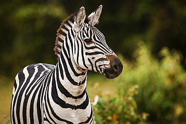 Close-up of plains zebra (Equus quagga) looking at camera, Maasai Mara National Reserve, Kenya
