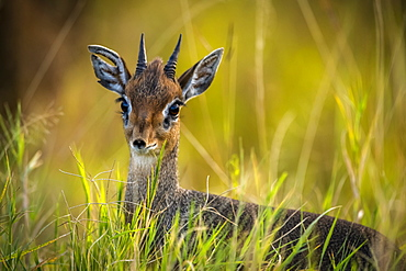 Close-up of Kirk's dik-dik (Madoqua kirkii) in long grass, Maasai Mara National Reserve, Kenya