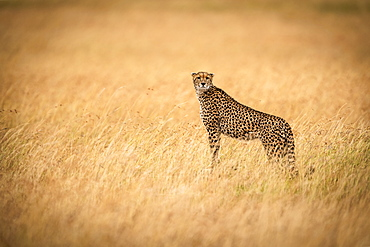 Cheetah (Acinonyx jubatus) standing on mound in golden grass facing camera, Maasai Mara National Reserve, Kenya