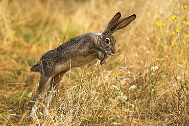 Rabbit jumping, Cascade Siskiyou National Monument, Ashland, Oregon, United States of America