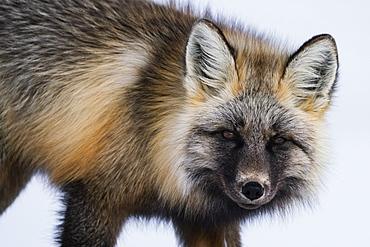 Red fox (Vulpes vulpes) in snow, Haines Junction, Yukon, Canada