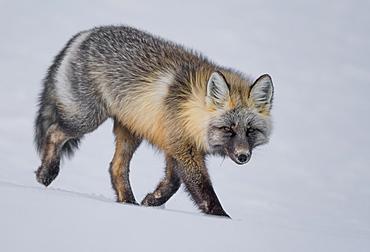 Red fox (Vulpes vulpes) walking in snow, Haines Junction, Yukon, Canada