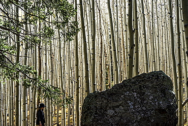 A woman walks alone among the tall, leafless tree trunks in a forest, Arizona, United States of America