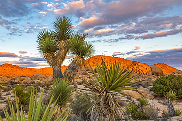View of sunset on rock formation with Joshua tree (Yucca brevifolia) in the foreground, Joshua Tree National Park, California, United States of America