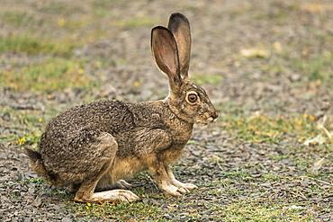 Rabbit with large ears, Cascade Siskiyou National Monument, Ashland, Oregon, United States of America