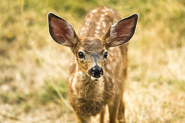White-tailed deer (Odocoileus virginianus) fawn in the Cascade Siskiyou National Monument, Ashland, Oregon, United States of America