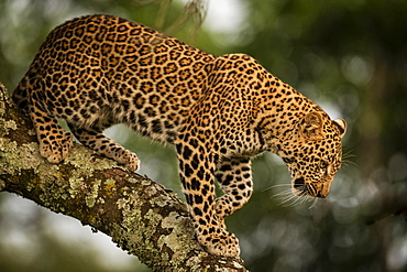 A leopard (Panthera pardus) walks down the lichen-covered branch of a tree. It has black spots on it's brown fur coat and is looking down, Maasai Mara National Reserve, Kenya