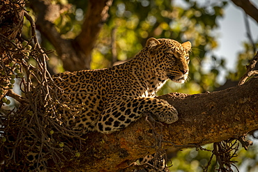 A leopard (Panthera pardus) lies on the branch of a tree with it's head up. It has black spots on its brown fur coat and is looking for prey, Maasai Mara National Reserve, Kenya