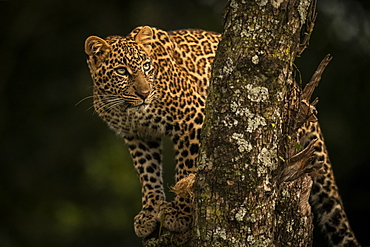 A leopard (Panthera pardus) stands in a tree that is covered in lichen. It has black spots on its brown fur coat and is turning it's head to look up, Maasai Mara National Reserve, Kenya