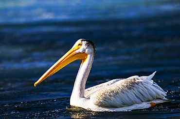 Pelican (Pelecanidae) on a lake, Calgary, Alberta, Canada