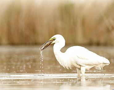 Great Egret (Ardea alba), Kiskunsagi National Park, Pusztaszer, Hungary