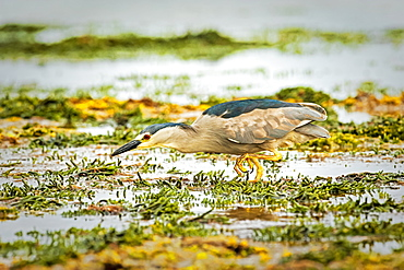Black-crowned night heron (Nycticorax nycticorax) walking in shallow water, Carcass Island, Falkland Islands