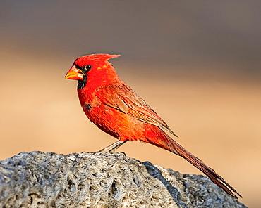 Male northern cardinal (Cardinalis cardinalis), Elephant Head, Arizona, United States of America