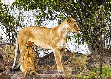 Lioness (Panthera leo) nursing her cub, Serengeti, Kenya