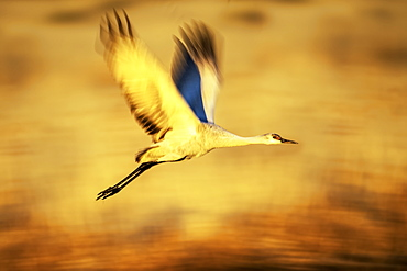 Sandhill crane (Antigone canadensis) in flight, Bosque Del Apache Wildlife Refuge, New Mexico, United States of America
