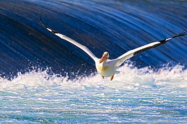 Pelican (Pelecanidae) flying over the water, Calgary, Alberta, Canada