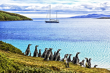 Magellanic penguins (Spheniscus magellanicus) on the shore of West Point Island, West Point Island, Falkland Islands