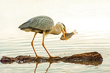 Heron (Ardeidae) with a fish in it's mouth, Kiskunsag National Park, Pusztaszer, Hungary