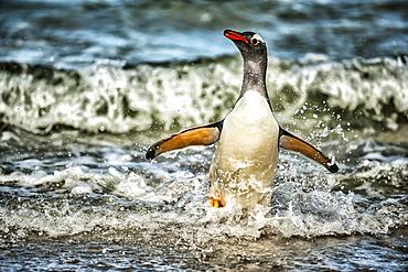 Gentoo Penguin (Pygoscelis papua) playing in the surf, Bleaker Island, Falkland Islands - 1116-48057
