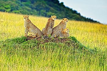 Four Cheetahs (Acinonyx jubatus) sitting on an ant mound, Kenya
