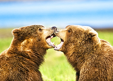 Two Kodiak Bears (Ursus arctos middendorffi) being affectionate and playful as they sit in grass, Katmai National Park, Alaska, United States of America