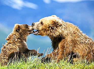 Kodiak Bears (Ursus arctos middendorffi) sow and cub being affectionate and playful as they sit in grass on a mountainside, Katmai National Park, Alaska, United States of America